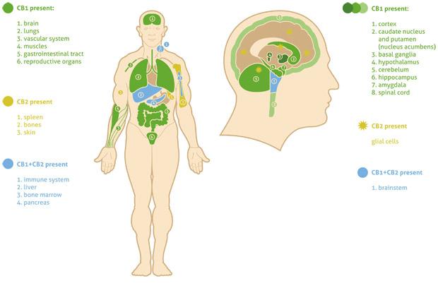 Het Endocannabinoïden systeem en CBD olie